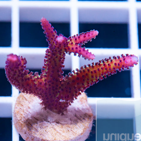 "Seriatopora sp. -  UC Red Birdsnest 1"" Stock Frag"