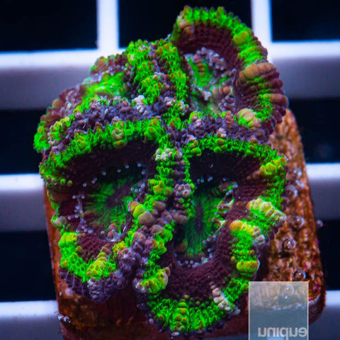"Micromussa lordhowensis -    Green Micro Lord - 3/4"" WYSIWYG Frag"