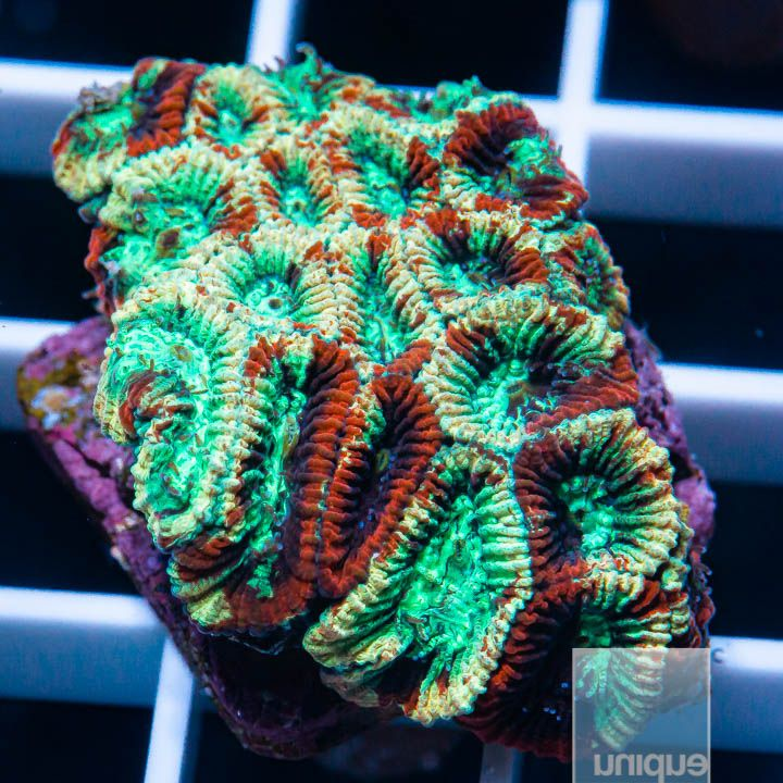 "Micromussa lordhowensis -    Fireworks Micro Lord - 1"" WYSIWYG Frag"