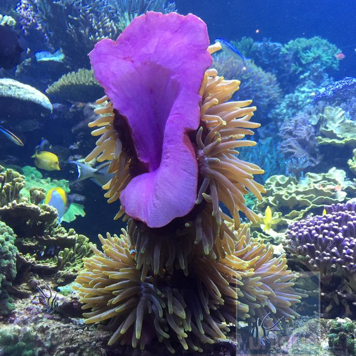 Magnifica Anemone-  Captive grown by Joe Yaiullo  Stock Item- Multiple sizes