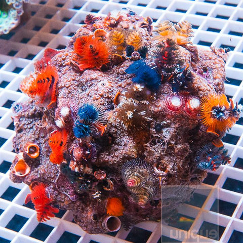 Spirobranchus porites - Xmas Tree Worm Rock - Small Stock Specimen