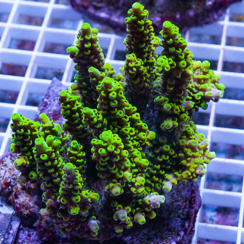 "Acropora sp.  -  Maricultured Acro  -  2"" WYSIWYG Colony"