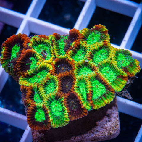 "Micromussa lordhowensis -    UC Pineapple Express Micro Lord - 1.5"" WYSIWYG Frag"