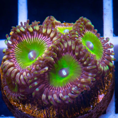 Palythoa sp.  - Candy Apple Pinks Palys -  WYSIWYG Frag