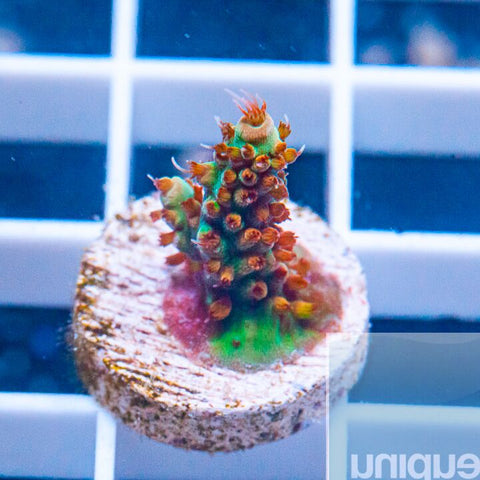 "Acropora sp.  - UC Bone Shredder Acro -  3/4"" WYSIWYG Frag"