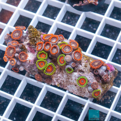 "Zoanthus sp.  - Colorful Mixed Zoanthids -  2"" WYSIWYG Large Frag"