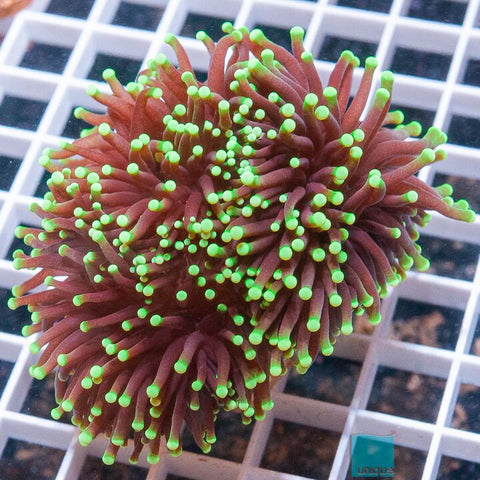 "Euphyllia glabrescens  -  Supershock Torch Coral - 3"" WYSIWYG Colony"
