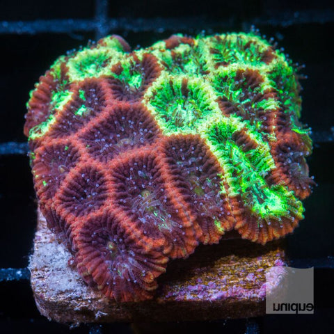 "Micromussa lordhowensis -   UC Pineapple Express Micro Lord - 1"" WYSIWYG Frag"