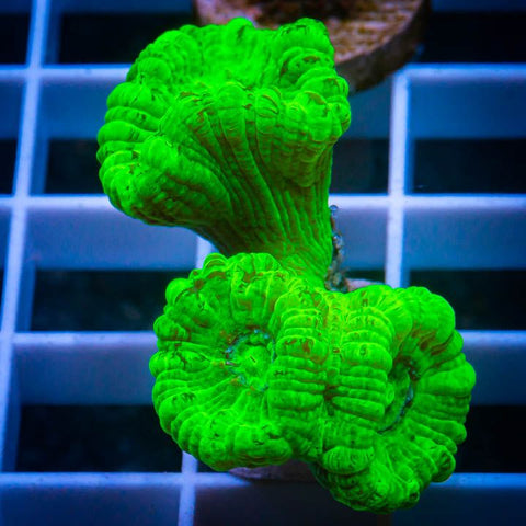 "Caulustrea furcata  - Kryptonite Candy Cane Coral - 1"" Stock Frag"