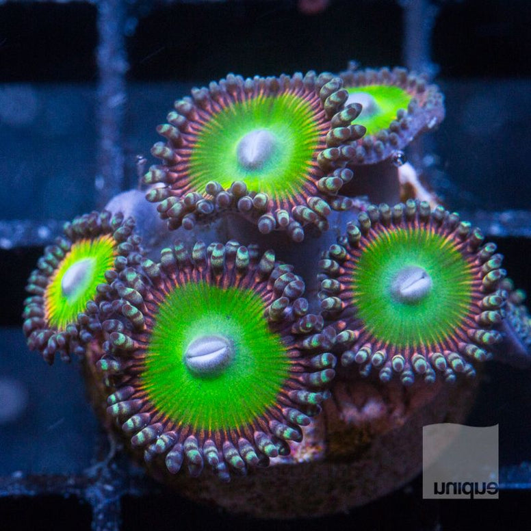 Palythoa sp.  -  Candy Apple Reds Palys - WYSIWYG Frag