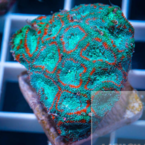 "Micromussa lordhowensis -  Ring Worm Micro Lord - 1"" WYSIWYG Frag"