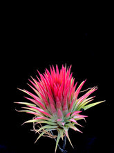 Load image into Gallery viewer, Ionantha Giant