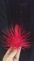 Red T. Magnusiana (Limited)