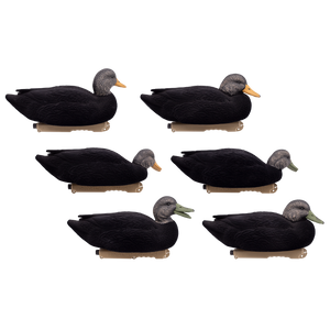 Live Flocked Black Ducks 6 Pack