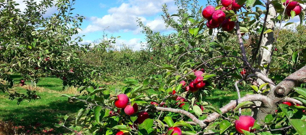 Apple orchard with ripe red apples