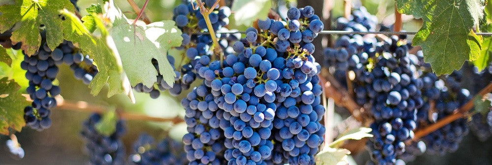 Ripe Blue Grapes Hanging On Vine