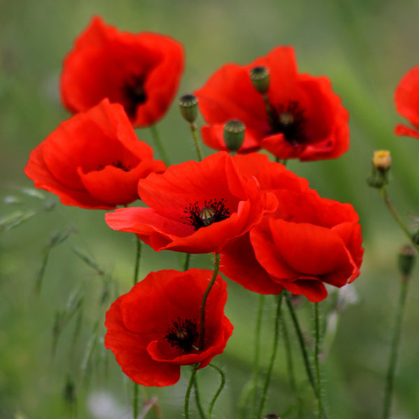 Poppies are a birth flower of August - Birthday Butler