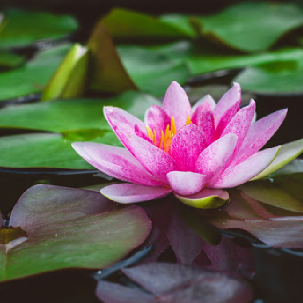 The water lily is July's birth flower