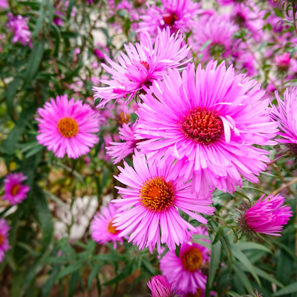 Asters are a September birth flower - Birthday Butler
