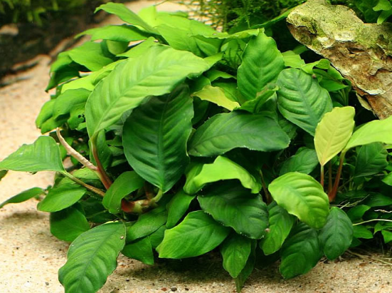 Anubias Coffeefolia Medium