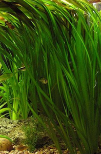 Jungle Vallisneria
