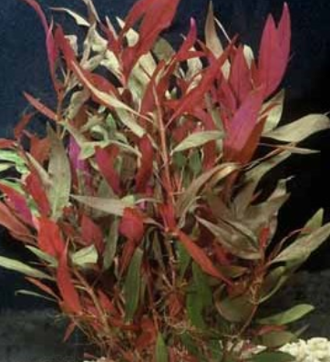 Telanthera (Cardinalis) RED