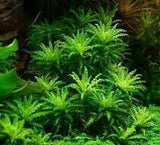Pogostemon Helferi 4oz cup portion