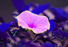 Pink Flower Photograph, Morning Glory Photo Print, Floral Decor