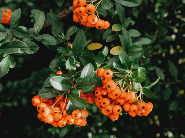Sea Buckthorn oil, its's skincare benefits and differences between berry and seed oil.