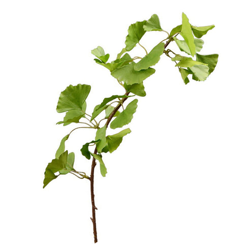 "Ginkgo Biloba Leaves - 37"" - Green"