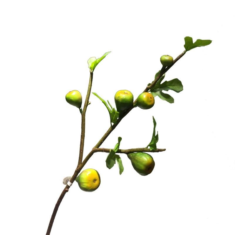 Ficus Carica Yellow Green- 36""