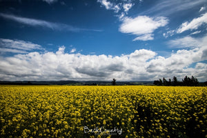 Fields of Yellow - Canvas