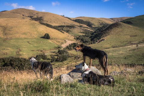 Farm Dogs - Canvas