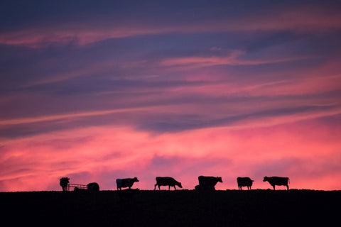 Sunset Cows - Canvas