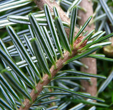 Fir Needle  Silver Fir 100% Pure Essential Oil