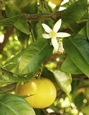 Grapefruit Peel Pure Essential Oil