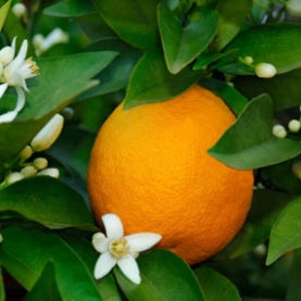 Sweet Orange Pure Essential Oil