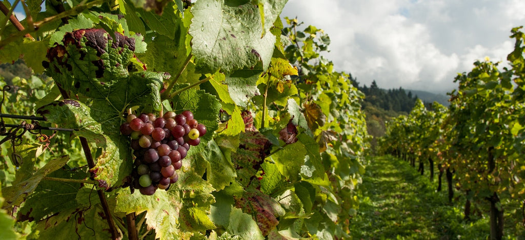 Wine Education: A Quick Guide to Wine Harvest Season