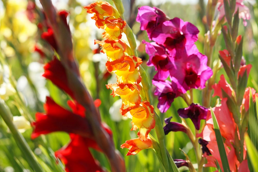 Plant Gladiolus in April