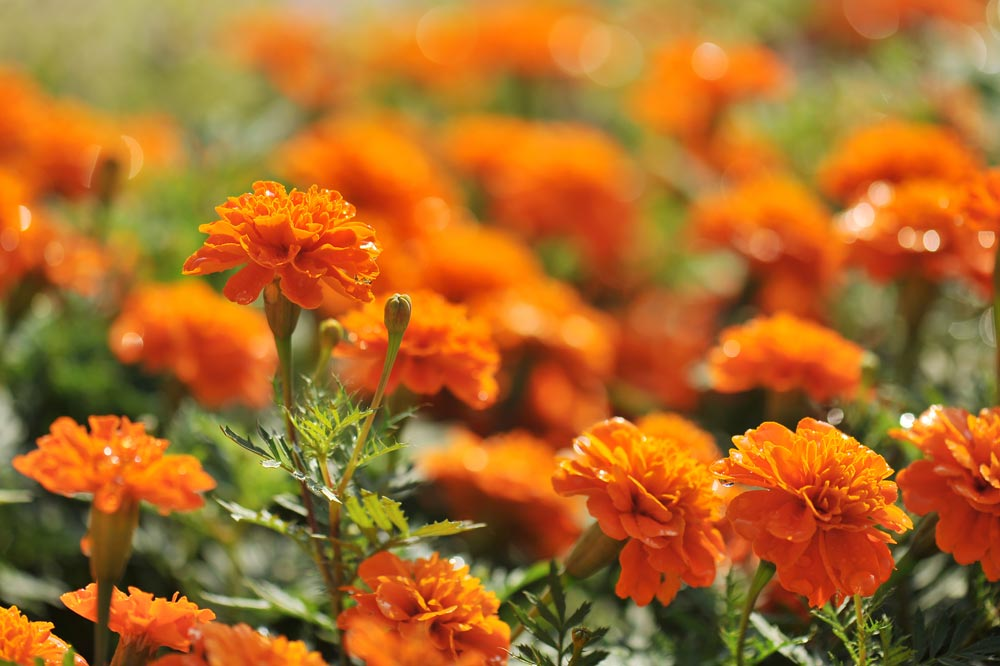 Plant Marigolds in April