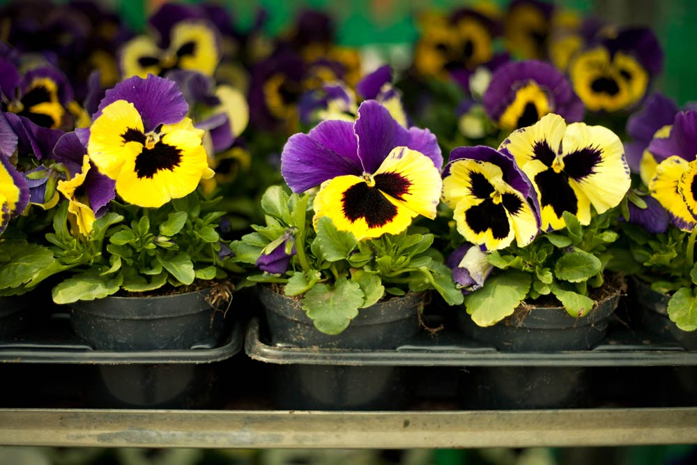 Plant Pansies in April