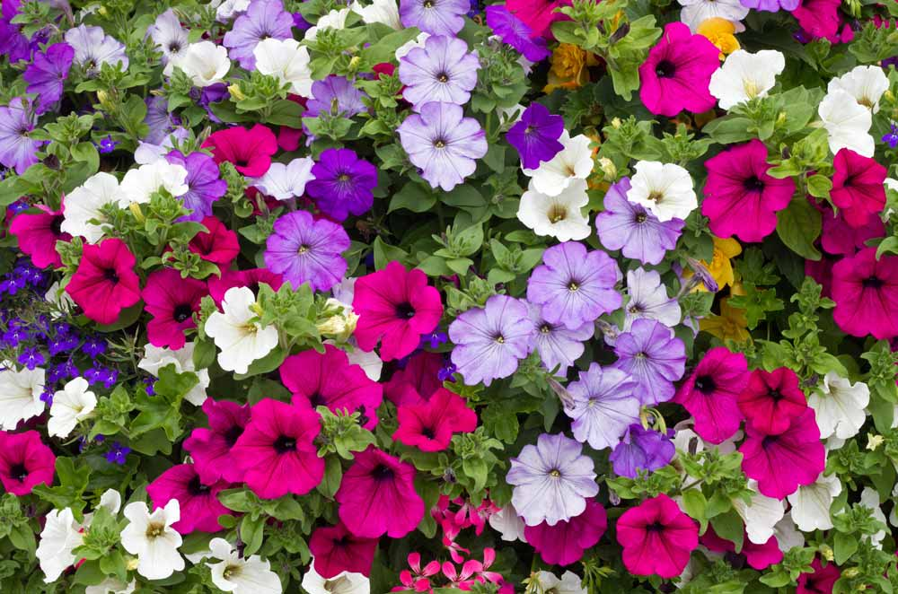 Plant Petunias in April