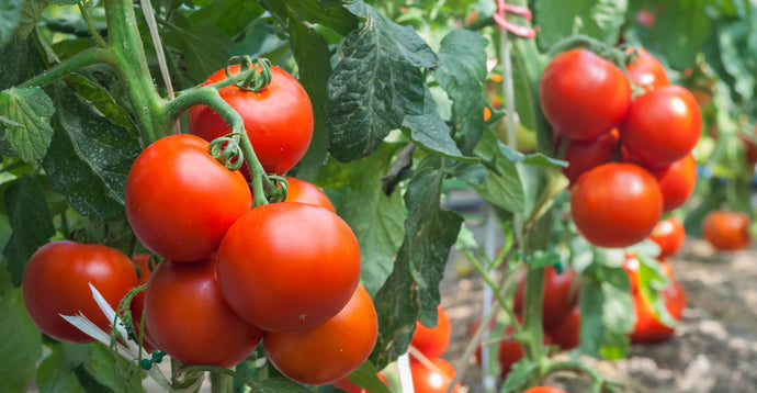 Plant  or Transplant Tomatoes and Peppers