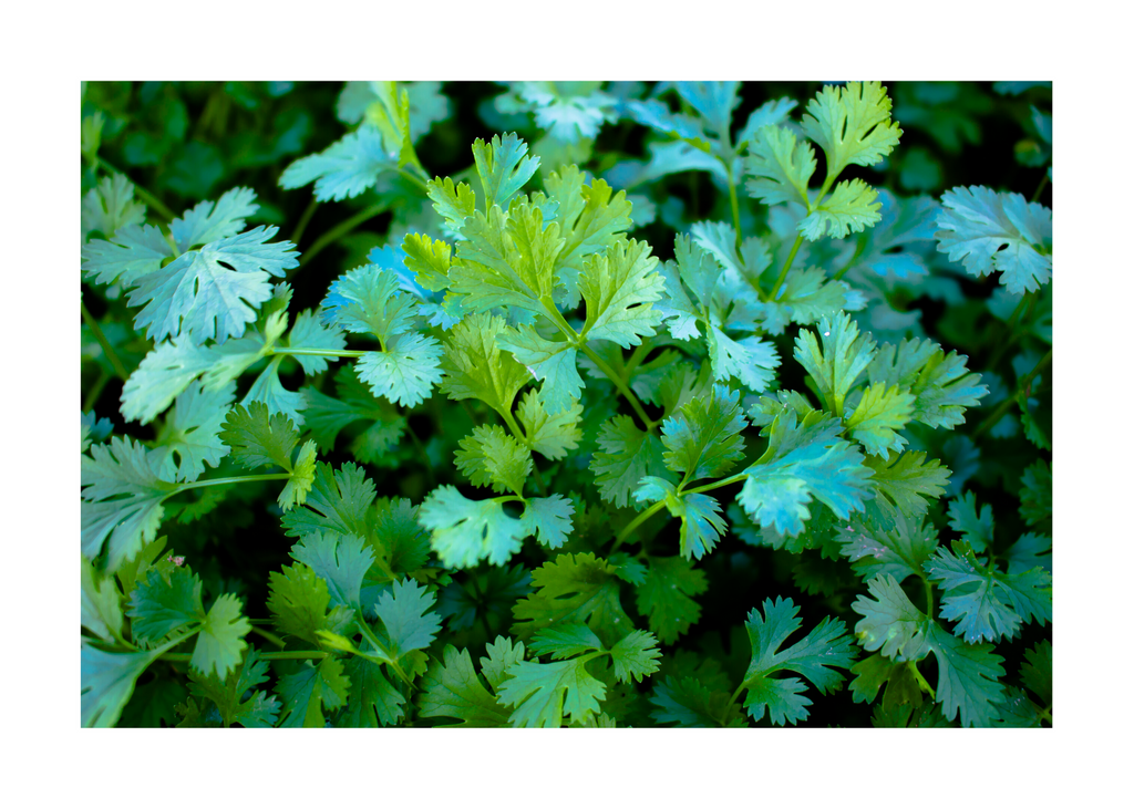 Cilantro - Kosher Certified