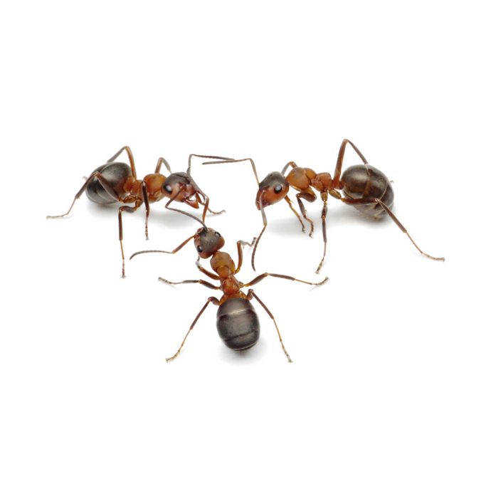 Live Ants for Ant World