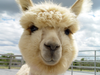What's So Special About Alpaca Anyway?