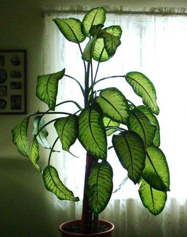 Dumb Cane unsafe for cats