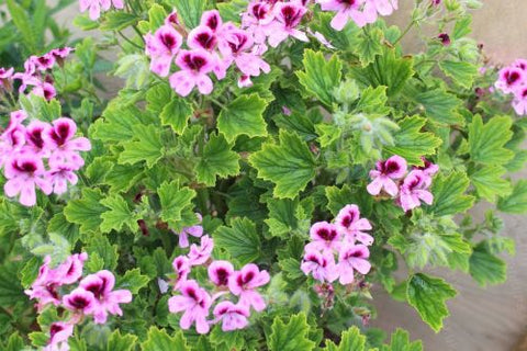 Scented Geraniums cat friendly