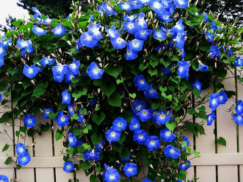 Morning Glory toxic to pets