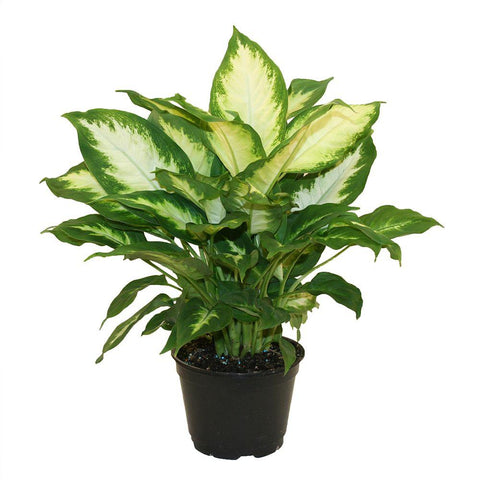 Poisonous house plant to pets